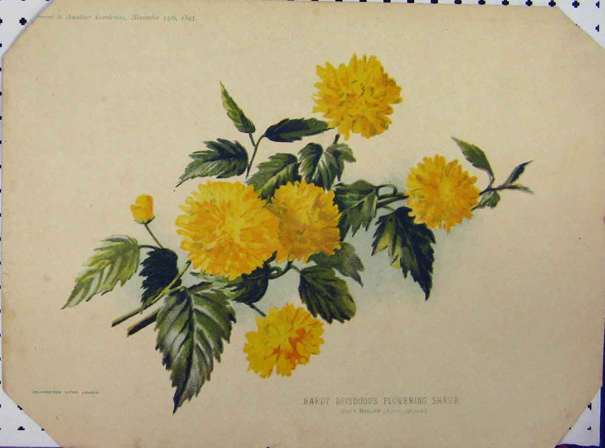 Print 1897 Hardy Deciduous Flowering Shrub Yellow 111A121 Old Original