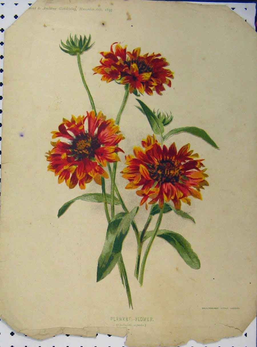 Print 1897 Blanket Flower Red Yellow Green Leaves 113A121 Old Original