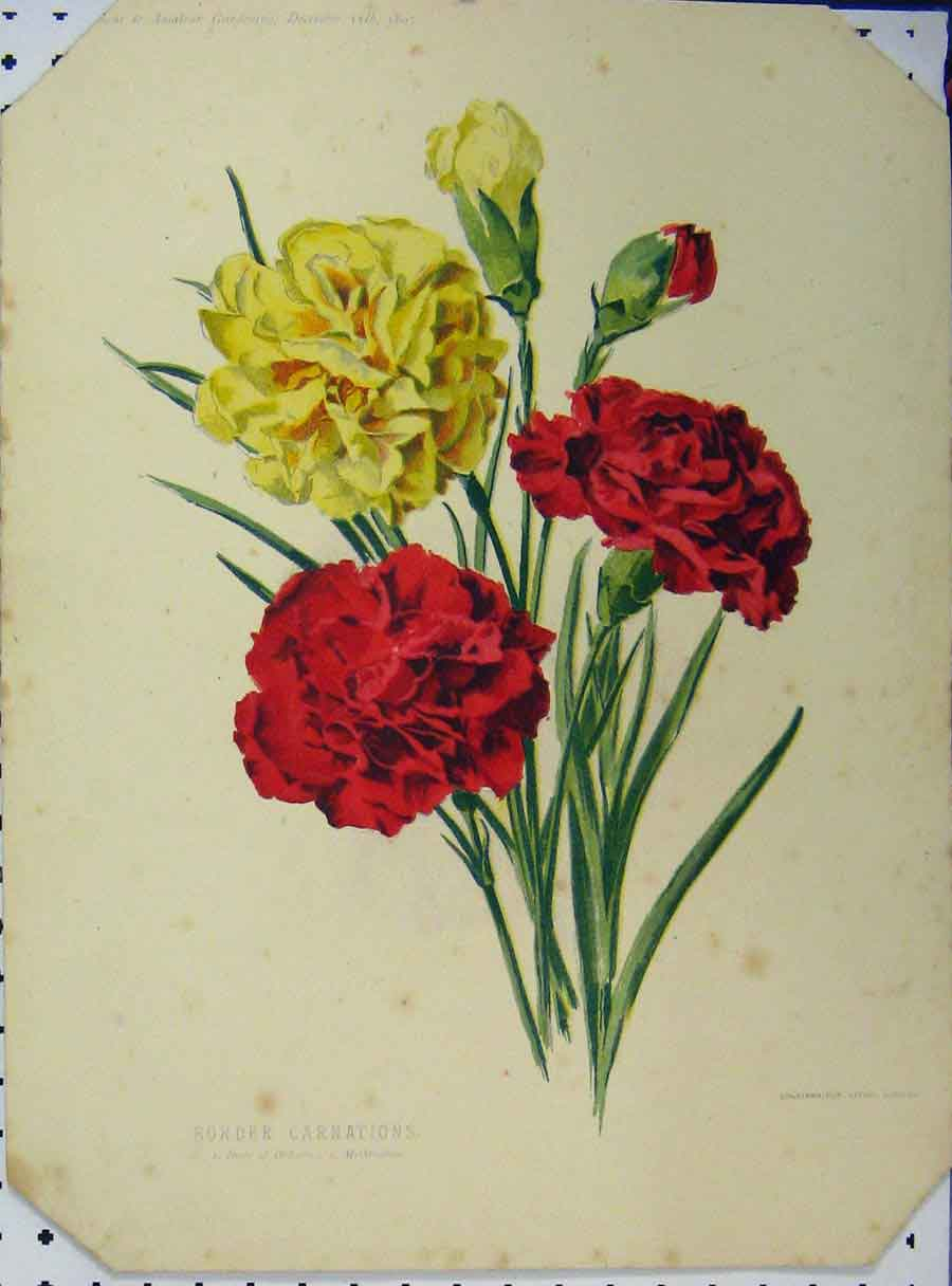 Print 1897 Border Carnations Red Yellow Flowers Green Leaves 117A121 Old Original