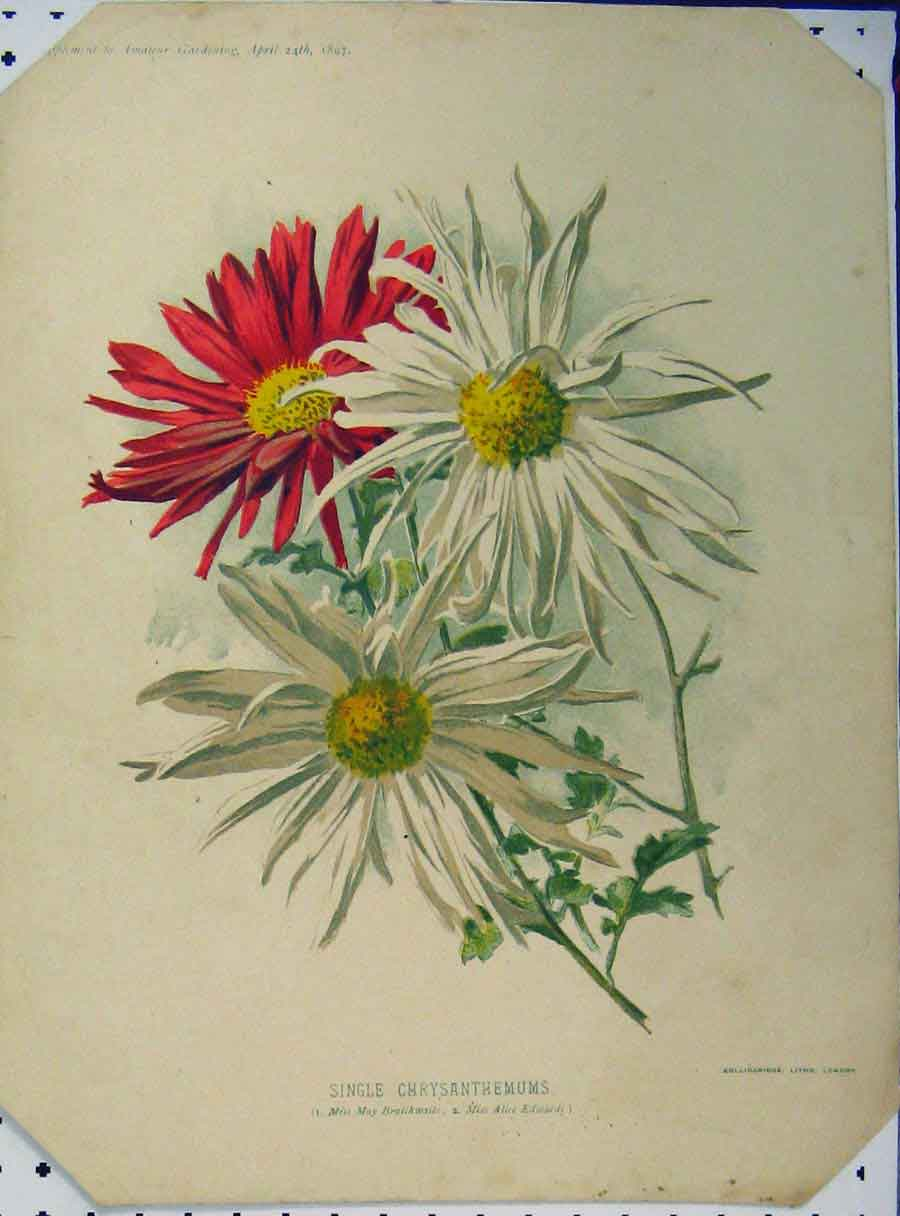 Print 1897 Single Chrysanthemums Red White Flowers 118A121 Old Original