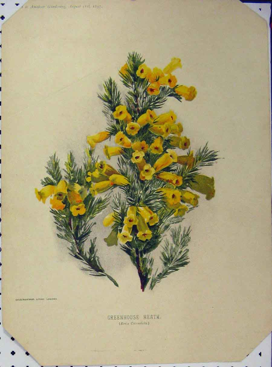 Print 1897 Greenhouse Heath Yellow Flowers Green Stem 119A121 Old Original