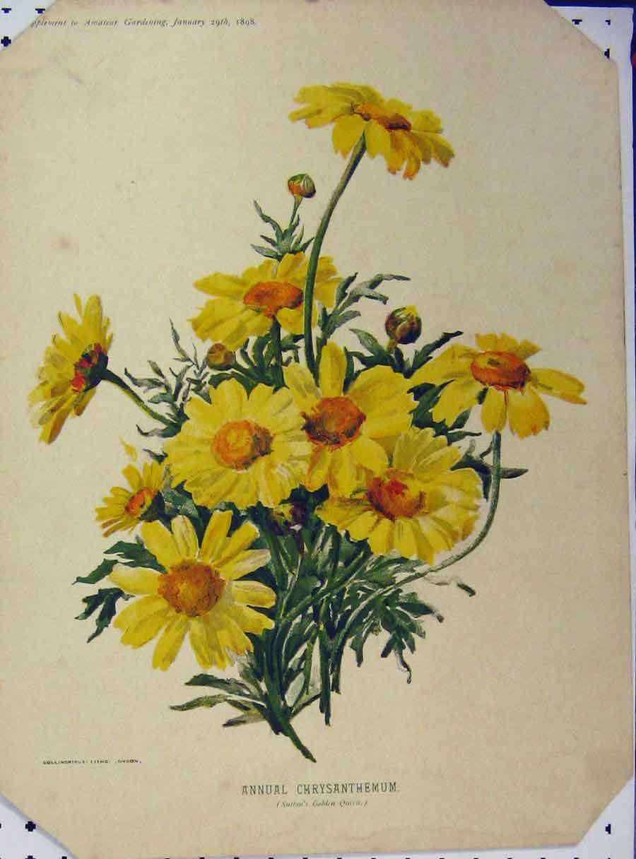 Print 1898 Annual Chrysanthemum Yellow Flowers Green Leaves 123A121 Old Original