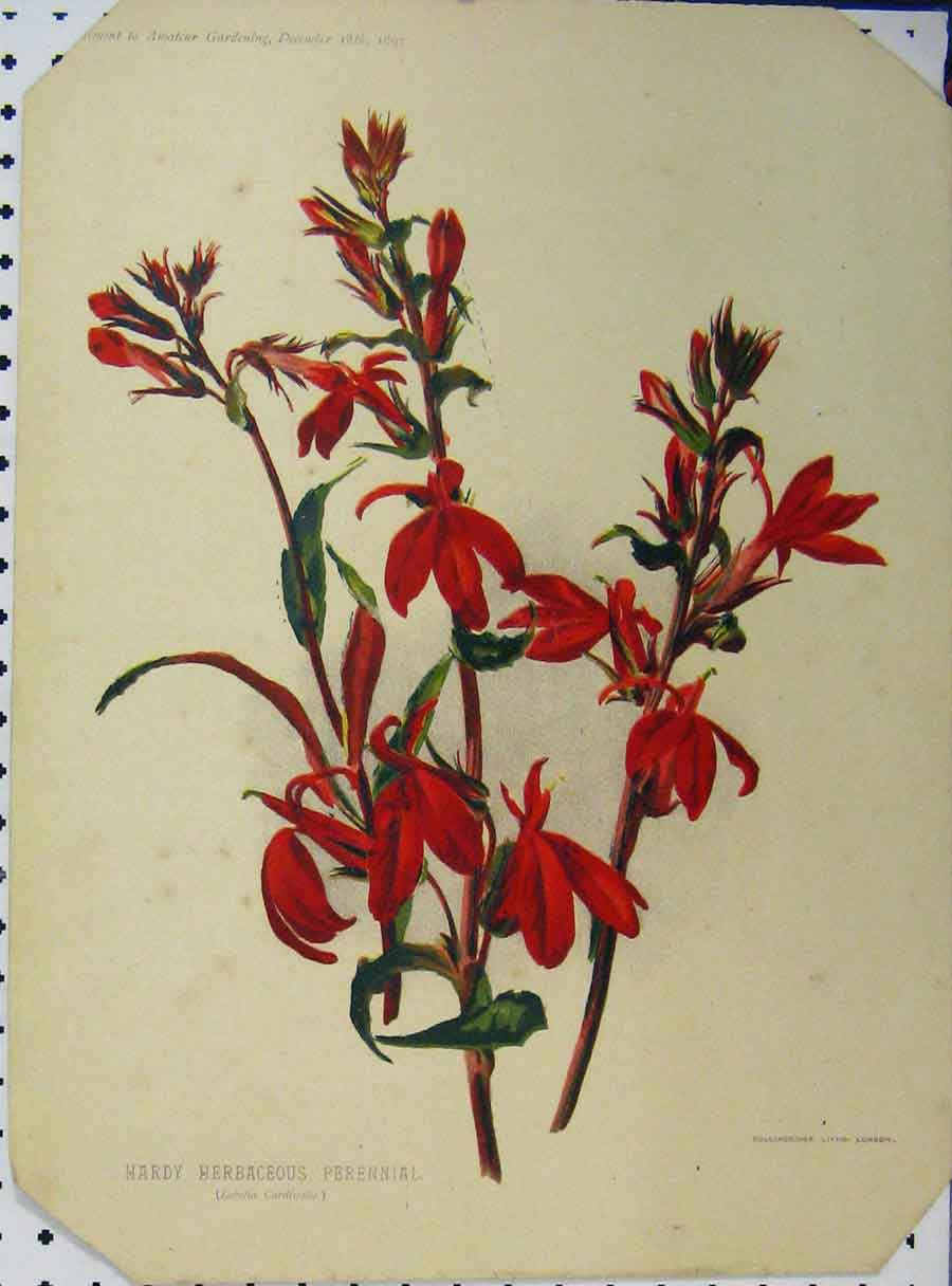 Print 1897 Hardy Herbaceous Perennial Flower Red 127A121 Old Original