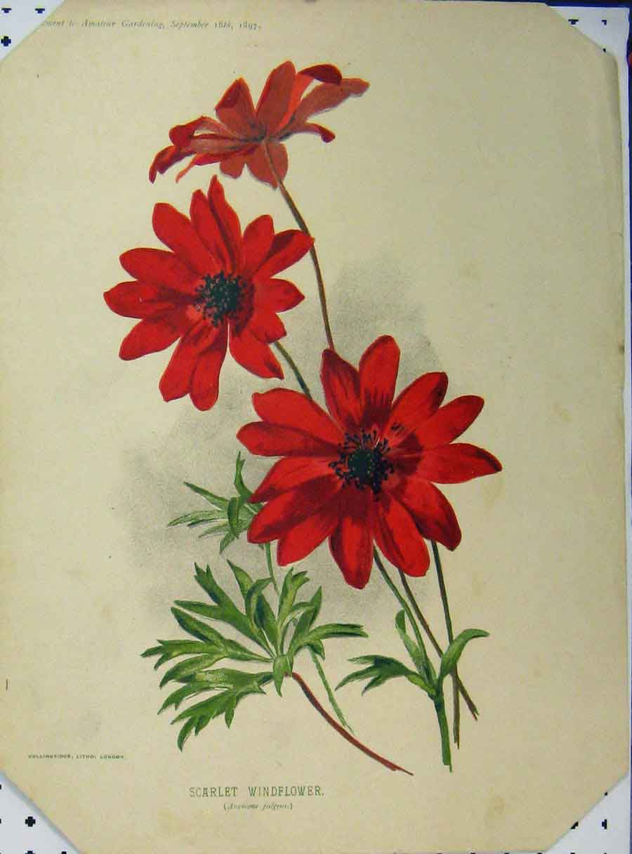 Print Scarlet Windflower 1897 Red Green Leaves 133A121 Old Original