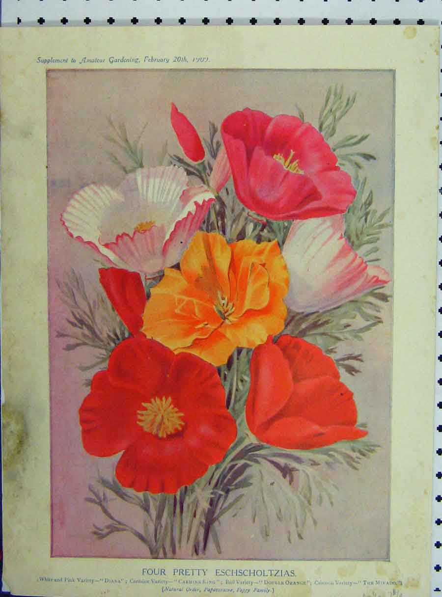 Print Four Pretty Eschscholtzias 1909 Flowers Red Pink Yellow 148A121 Old Original