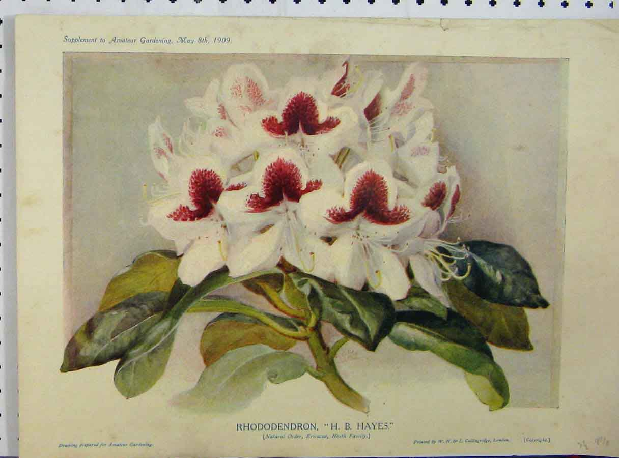 Print Rhododendron 1909 White Red Flowers Green Leaves 150A121 Old Original