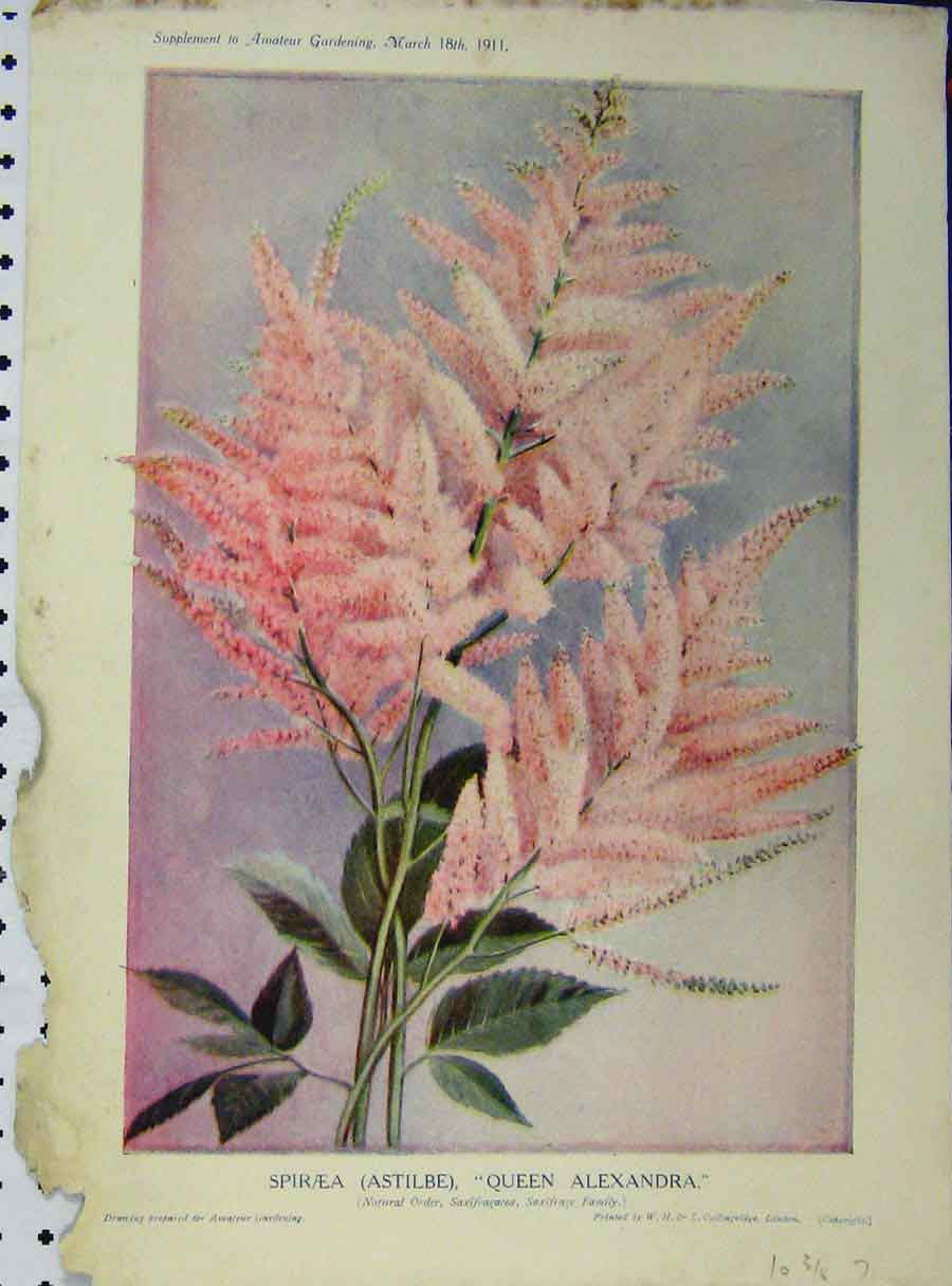 Print 1911 Spiraea Queen Alexandria Pink Flowers Green Leaves 155A121 Old Original