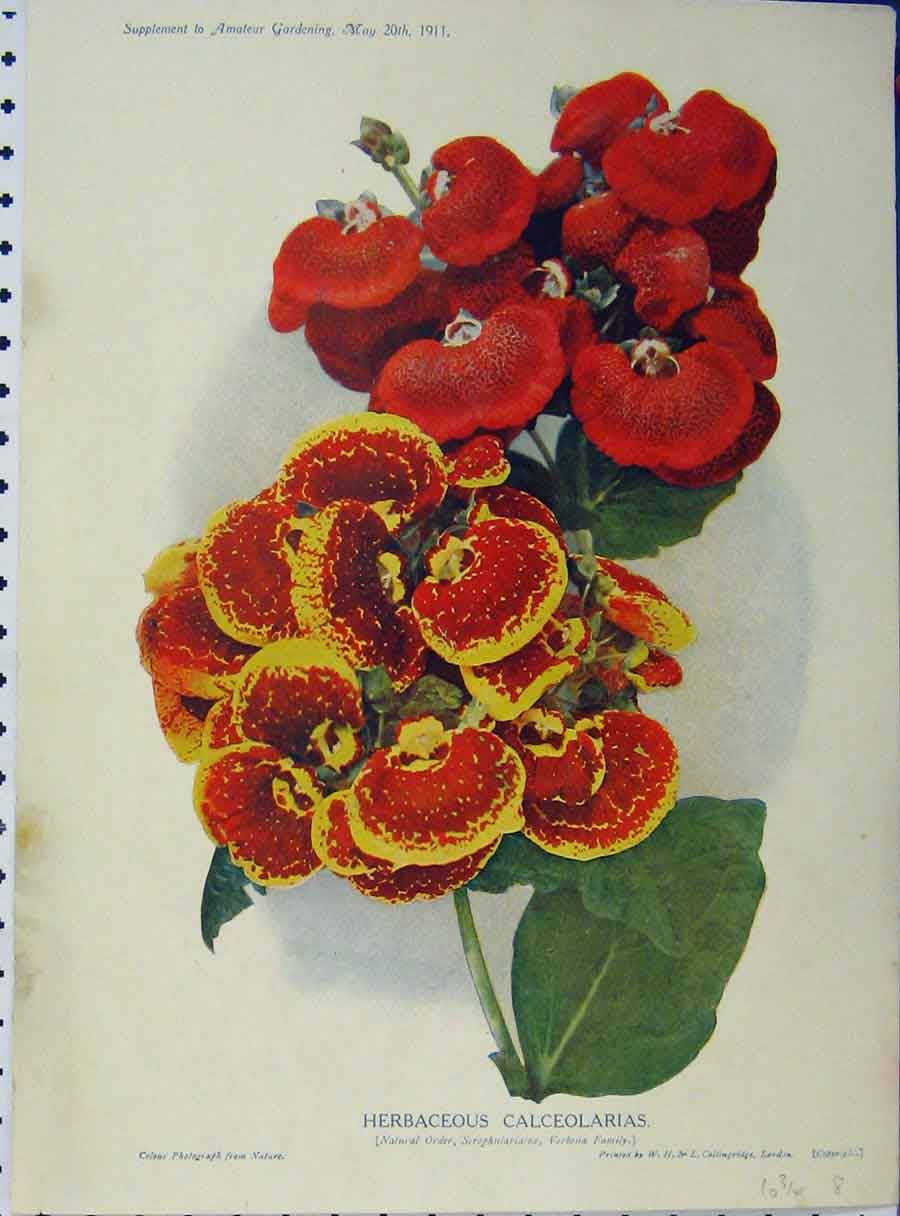 Print 1911 Herbaceous Calceolarias Red Yellow Flowers Green 158A121 Old Original