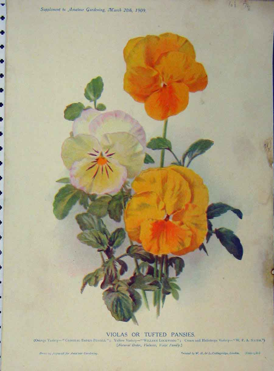 Print 1909 Violas Tufted Pansies Yellow White Flowers Green 172A121 Old Original