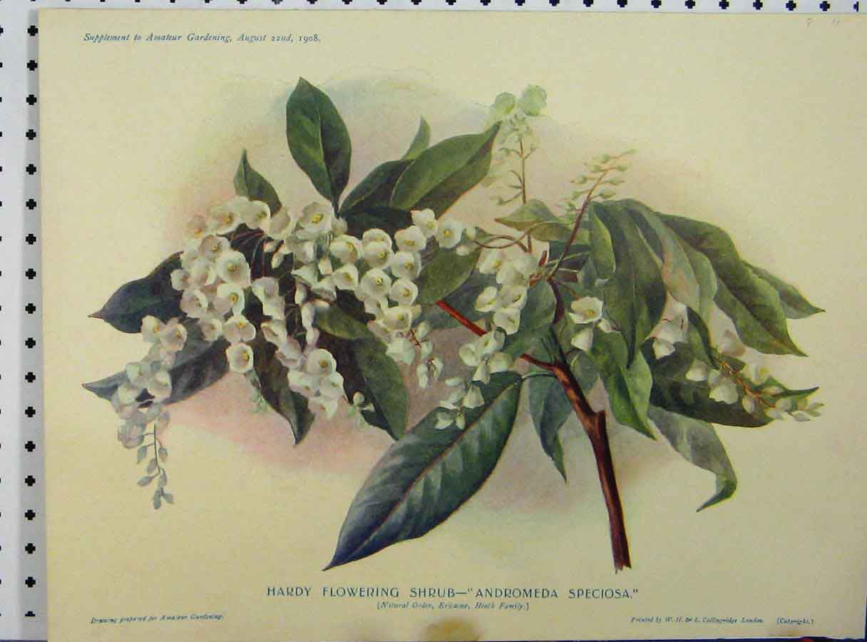 Print 1908 Flowering Shrub Andromeda Speciosa Green Leaves 173A121 Old Original