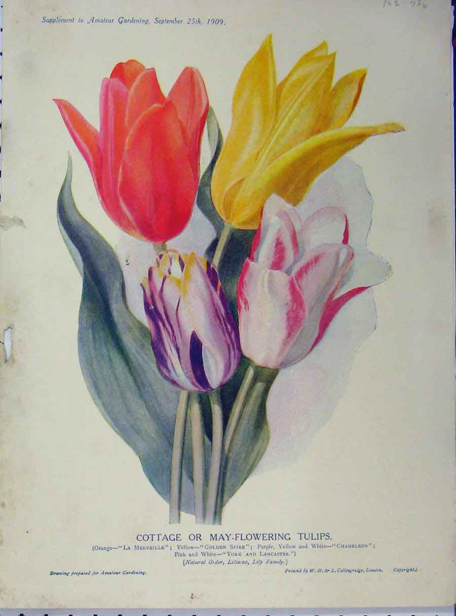 Print Cottage May-Flowering Tulips 1909 Flowers Red Yellow 176A121 Old Original