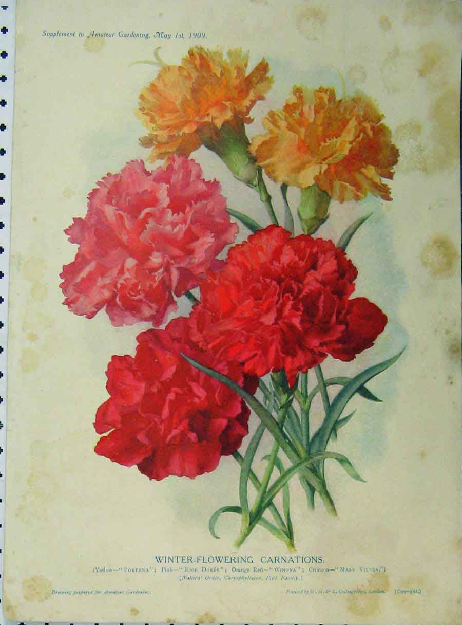 Print 1909 Winter-Flowering Carnations Red Yellow Flowers 179A121 Old Original