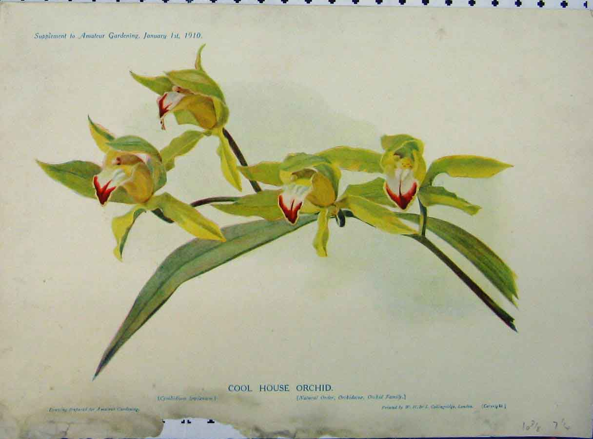 Print 1910 Coll House Orchid Yellow Flowers Green Leaves 187A121 Old Original