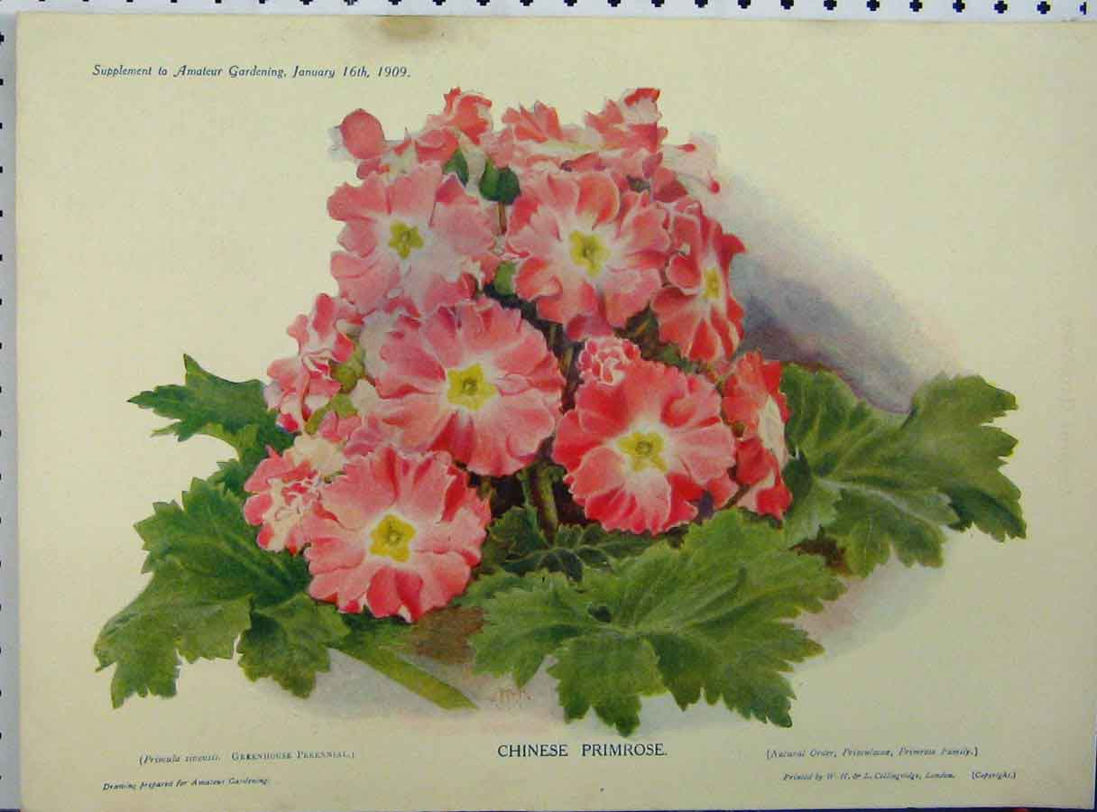[Print 1909 Chinese Primrose Pink Flowers Green Leaves 195A121 Old Original]