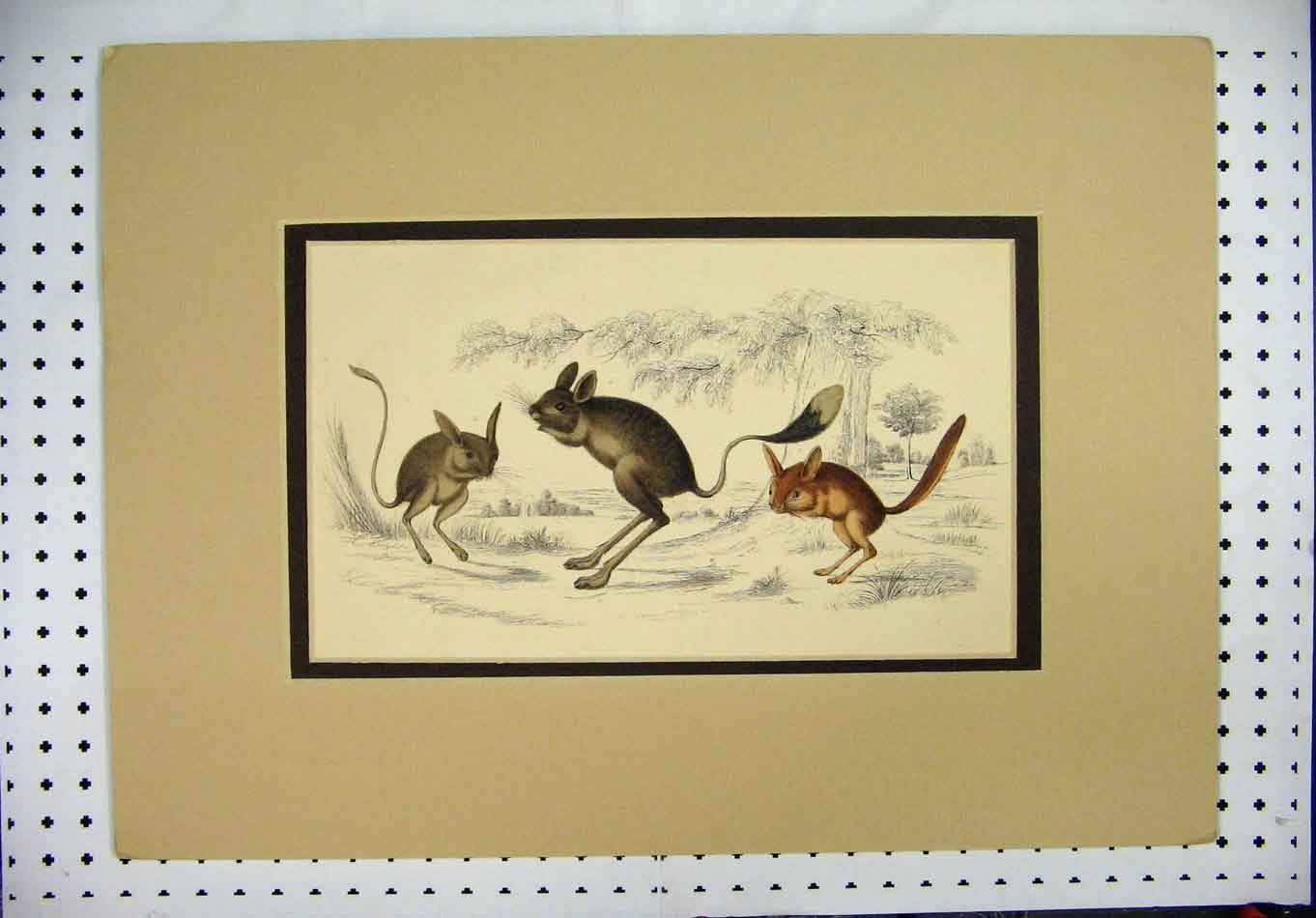 Print C1840 Wild Animals Rodents Colour Country Scene 355A126 Old Original