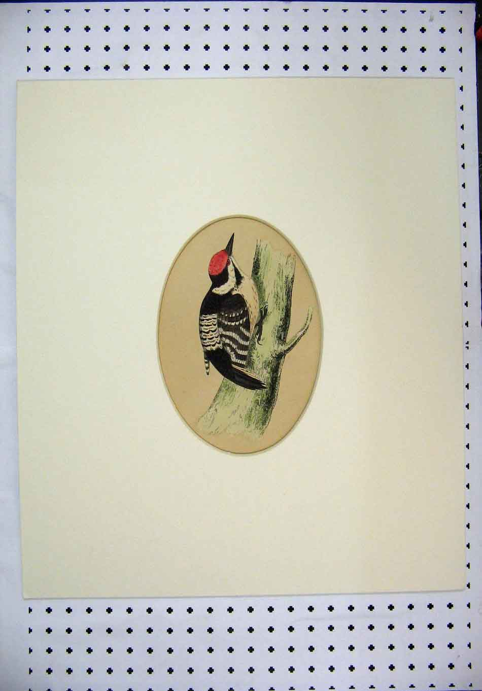 Print C1880 Framed Bird Sitting Branch Red Cap Colour 375A126 Old Original