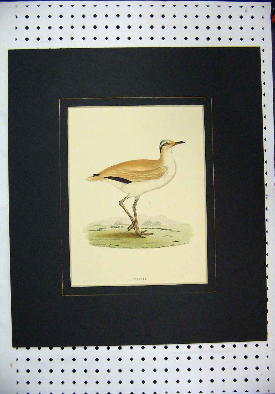 Print Colour C1870 Bird Wildlife Courser Country Scene 376A126 Old Original