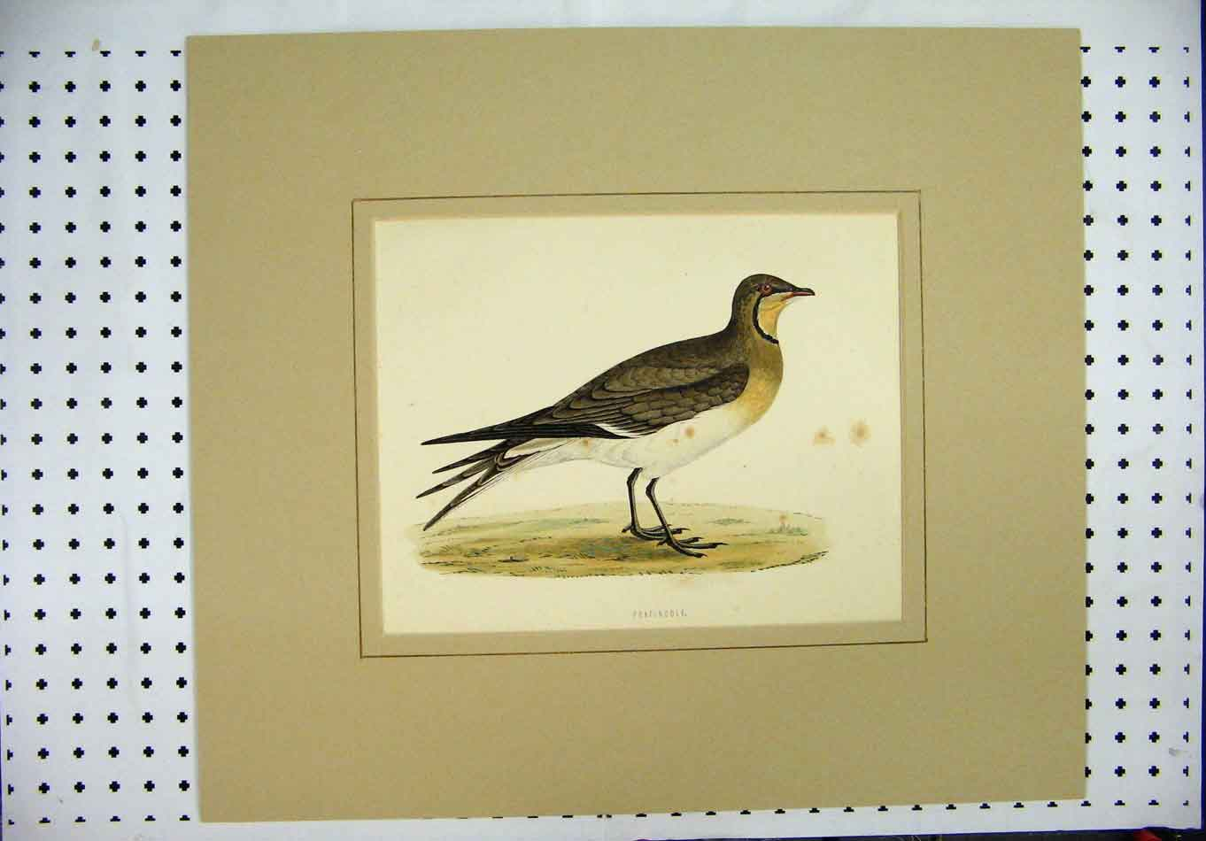 Print Colour C1870 Bird Pratincole Brown Wildlife Scene 378A126 Old Original