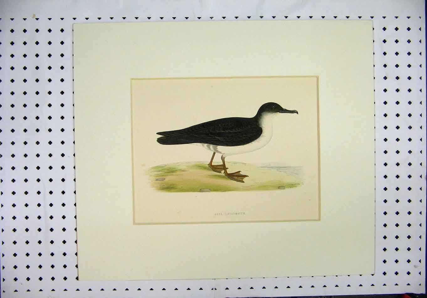 Print Colour C1870 Black White Bird Manx Shearwater 379A126 Old Original