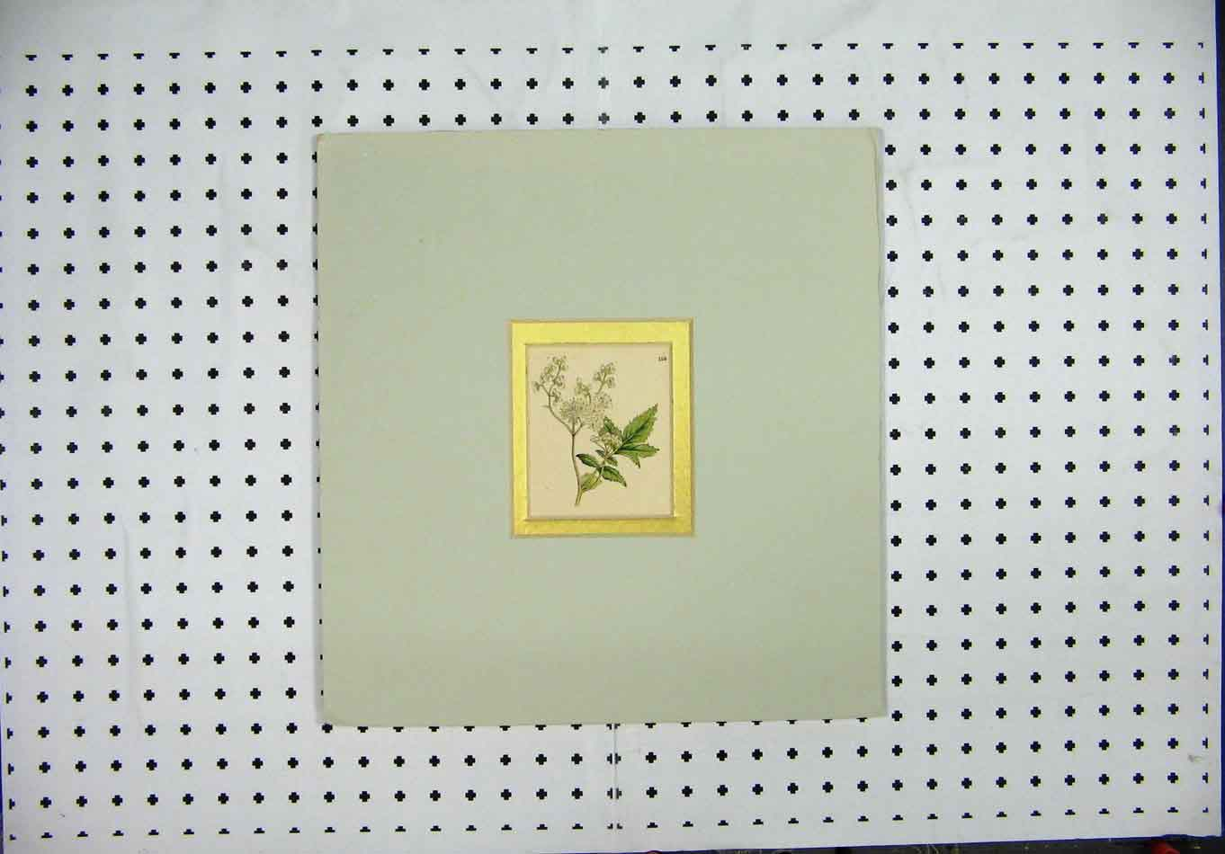 Print C1840 Hand Coloured Mounted Green White Flower 201A127 Old Original