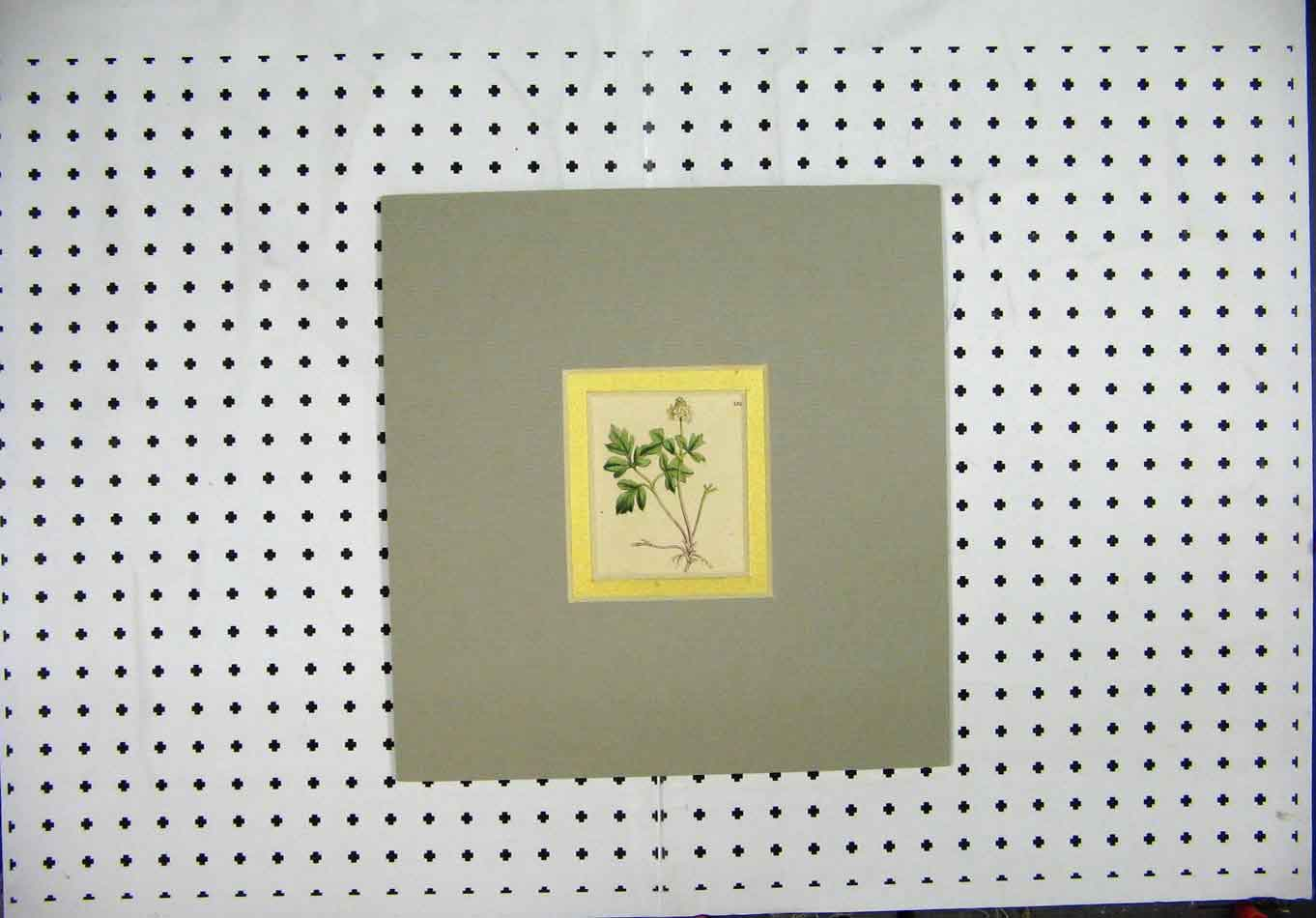 Print C1850 Hand Cloured Mounted Green White Flower 205A127 Old Original