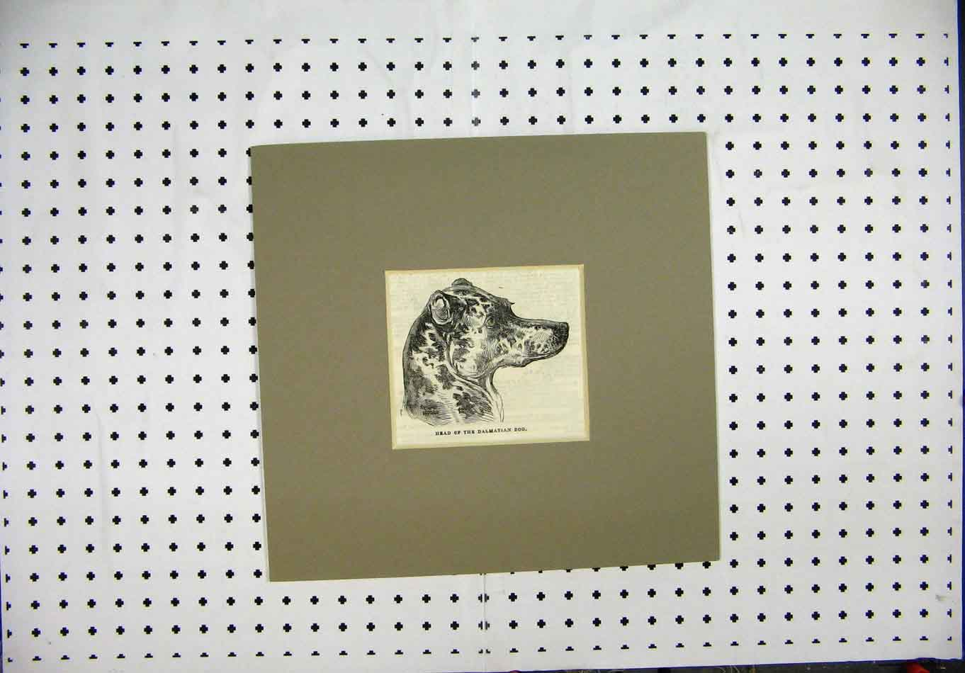 Print Engraving C1844 Head Dalmation Dogs Head 209A127 Old Original