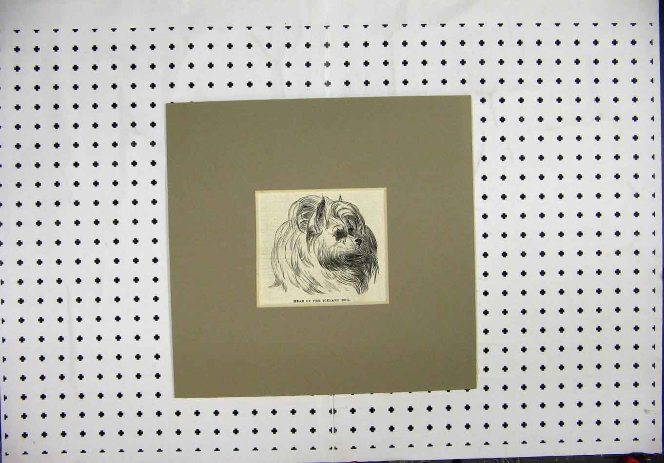 Print C1844 Engraving Head Iceland Dog Portrait 212A127 Old Original