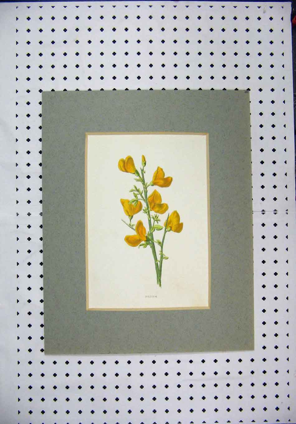 Print Colour Yellow Flower Broom Green Stem Nature 116A128 Old Original
