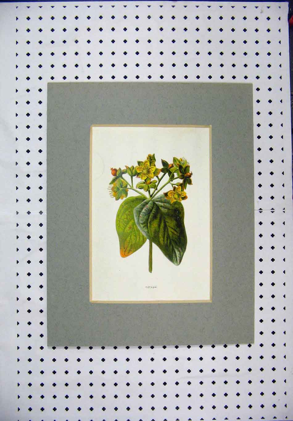 Print Colour Yellow Flower Tutsan Green Leaves Nature 117A128 Old Original