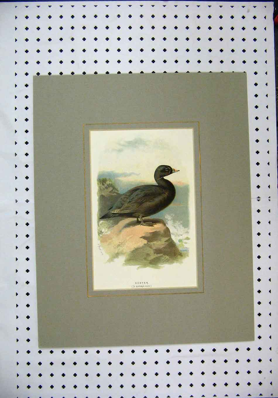 Print Colour Nature Black Wild Bird Scoter Rock Sea 137A128 Old Original