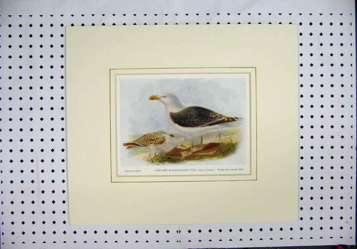 Print Nature Colour Greater Black-Backed Gull Bird 138A128 Old Original