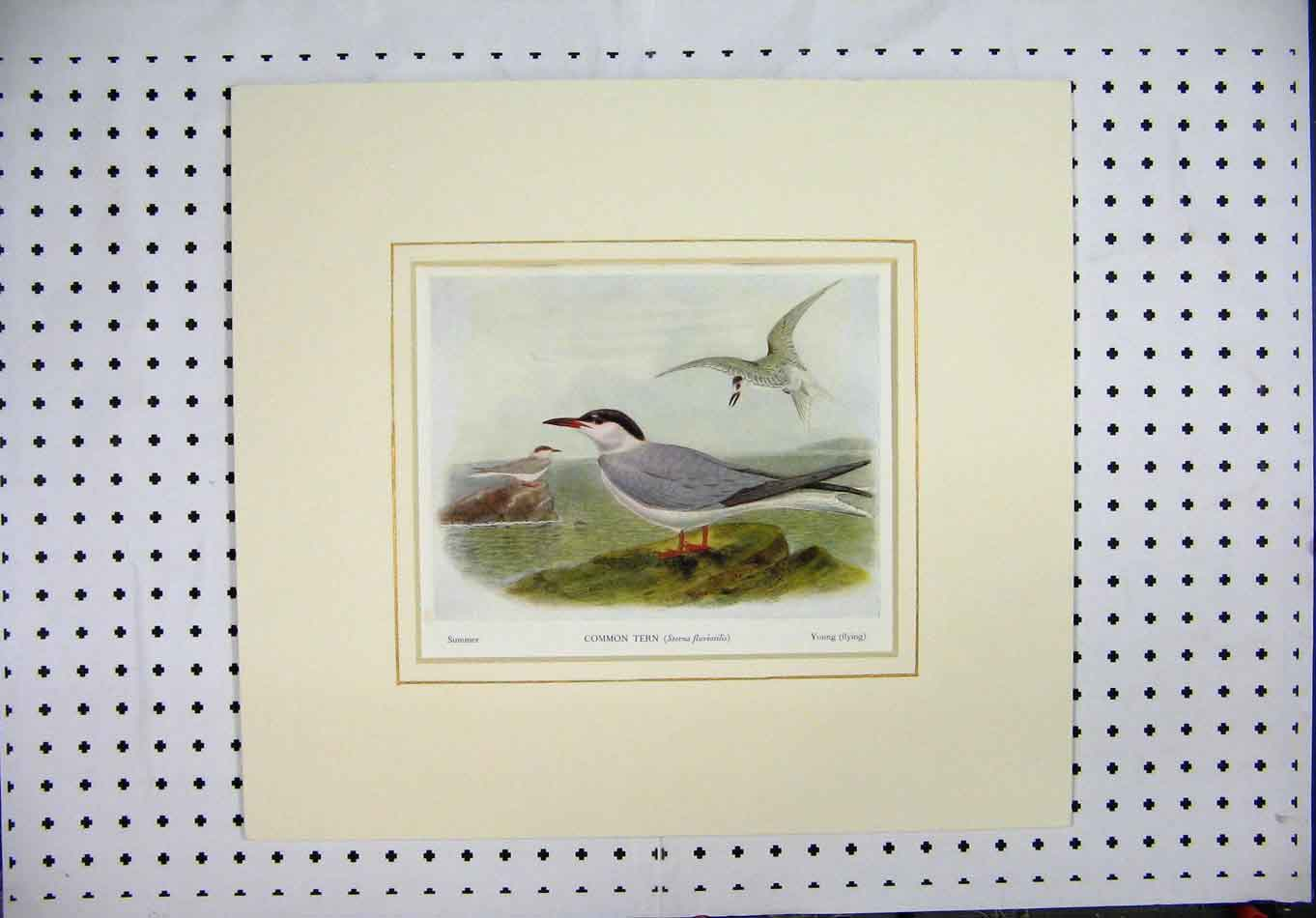 Print Colour Common Tern Black-Headed Gull Sea Birds 140A128 Old Original