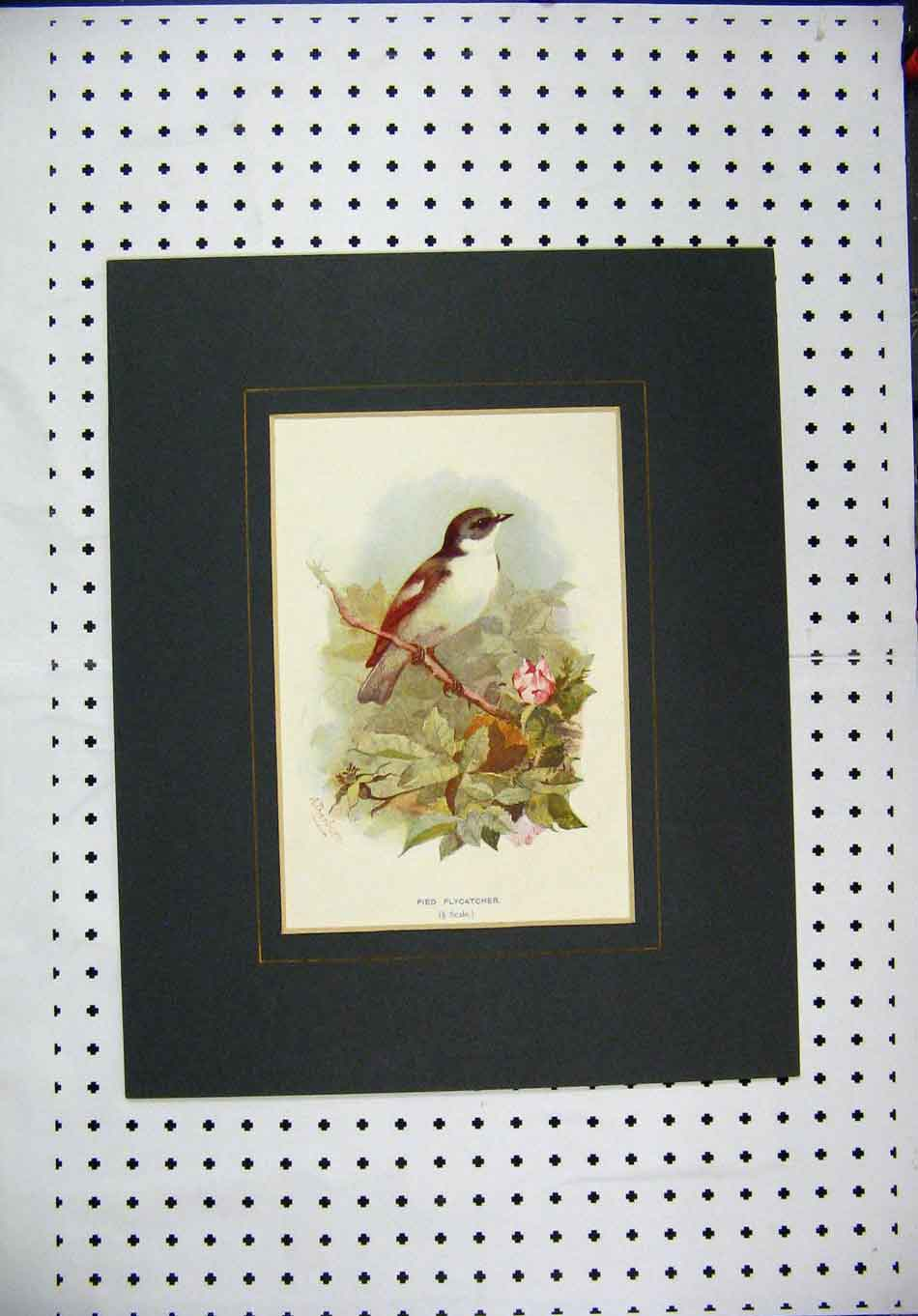 Print Colour Wild Bird Pied Flycatcher Tree Branch 141A128 Old Original