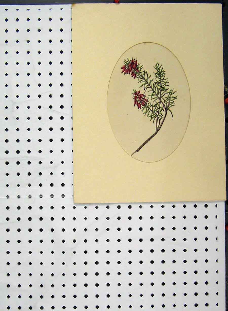 Print C1896 Hand Coloured Flower Red Green Botanical 101A134 Old Original
