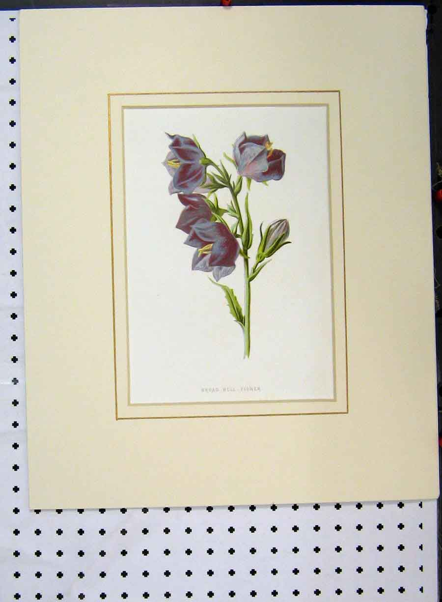 Print Broad Bell Flower Plant C1896 Botanical Purple 123A134 Old Original