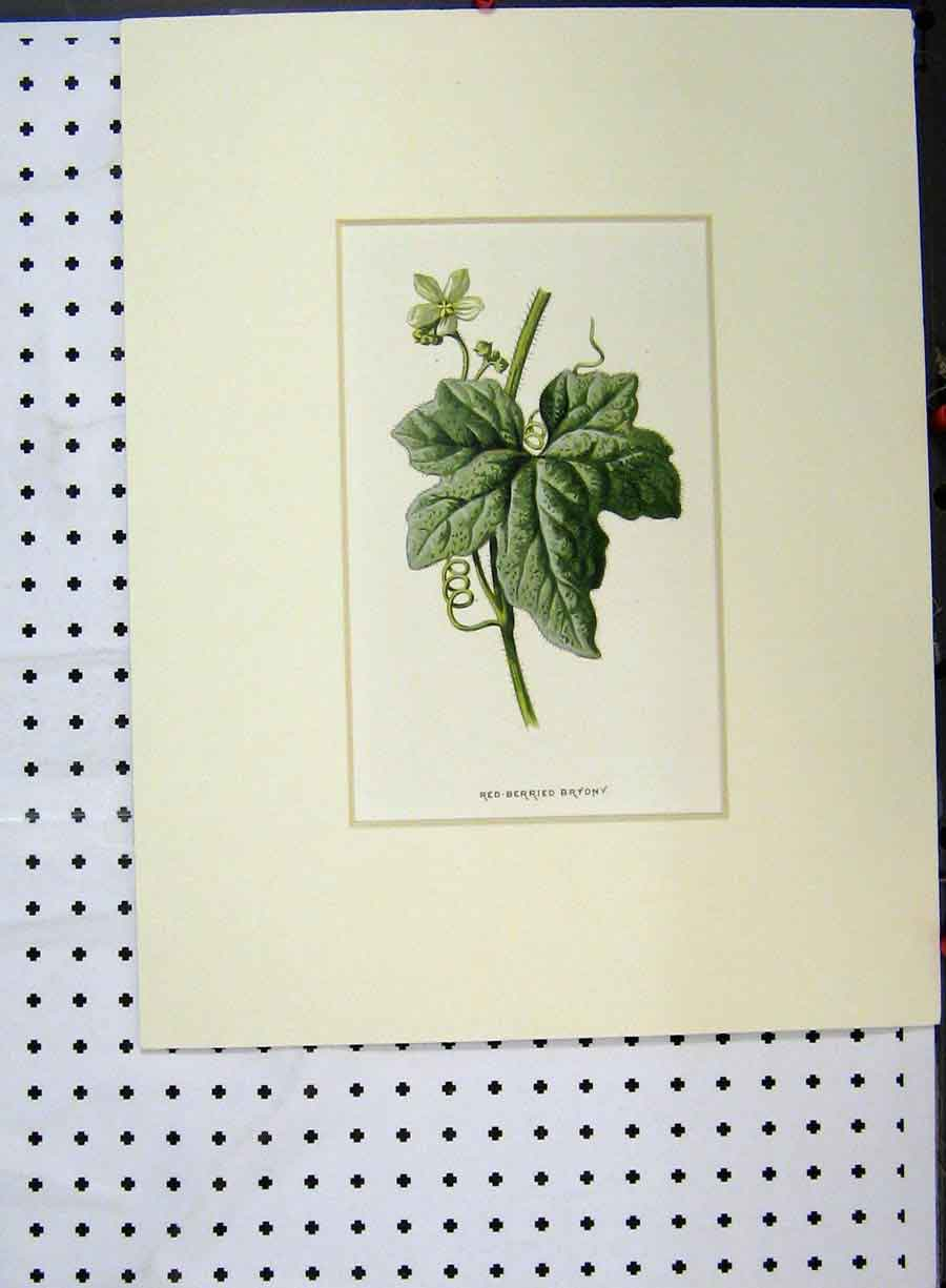 Print Red-Berried Bryony Plant Flower C1896 Botanical 124A134 Old Original