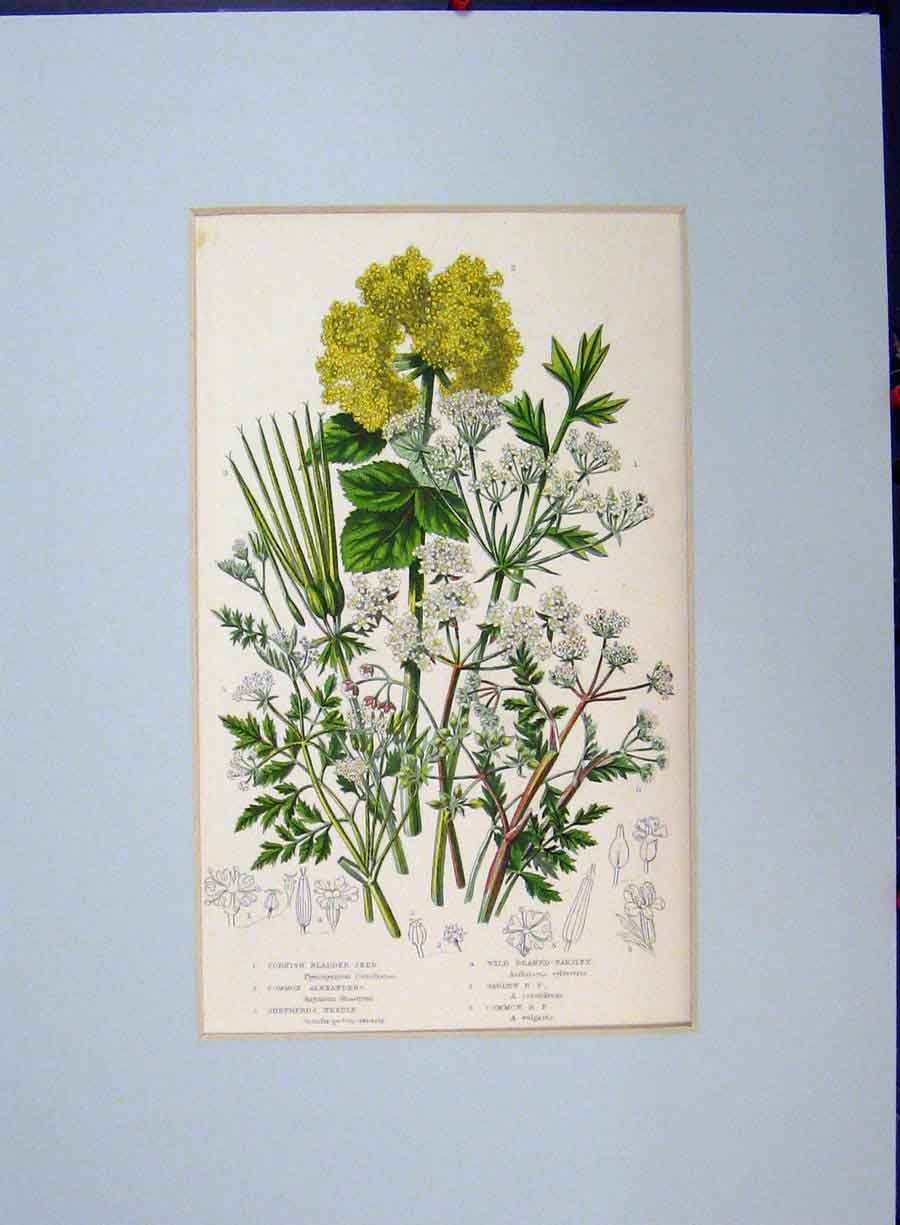 Print Shepherds Needle Cornish Wild Parsley Herbs C1896 Plant 129A134 Old Original