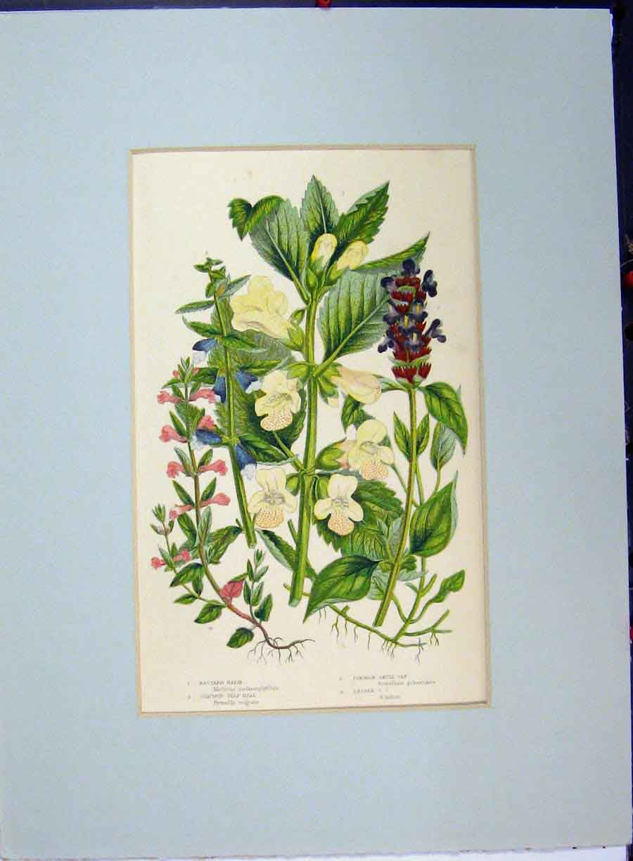 Print Common Self Heal Scull Cap Balm Palnts Flowers C1896 134A134 Old Original