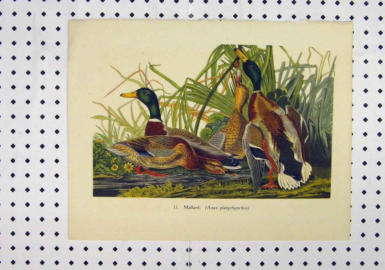 Print C1850 Colour Mallard Duck Country Scene Grass 135A145 Old Original