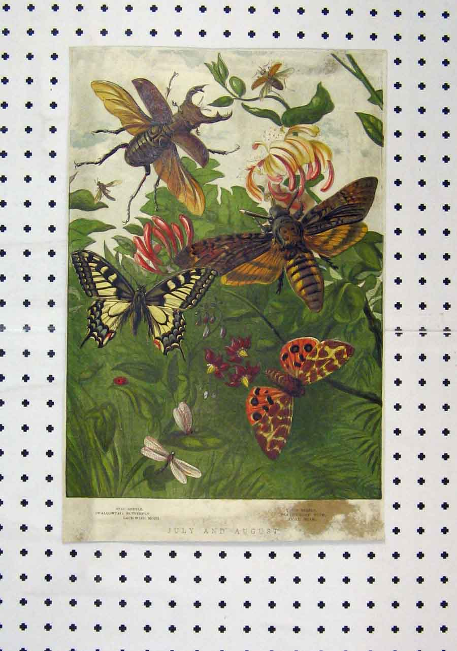 Print Colour C1850 Stag-Beetle Butterfly Tiger Moth 140A145 Old Original