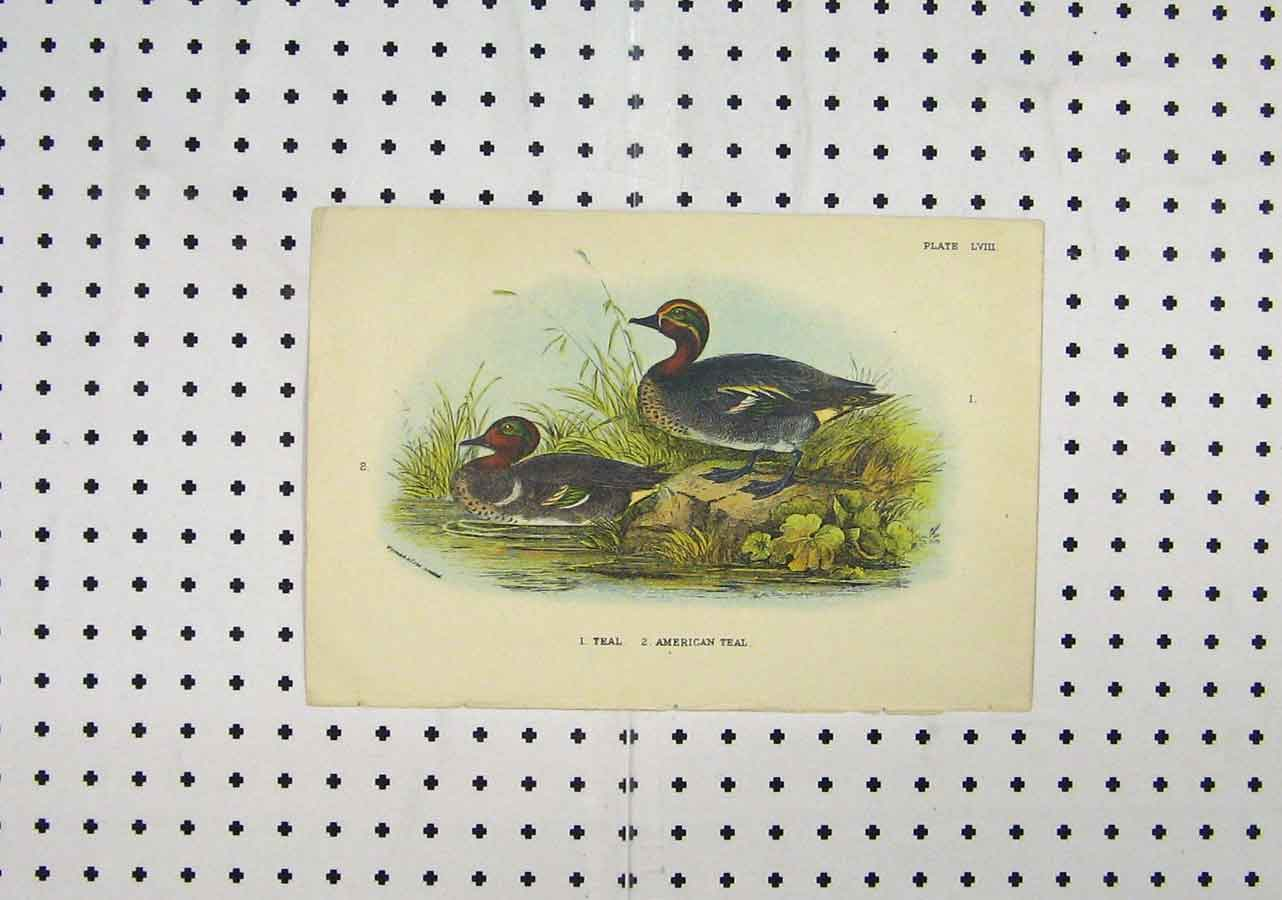 Print C1850 Colour Ducks River American Teal Animals 176A145 Old Original