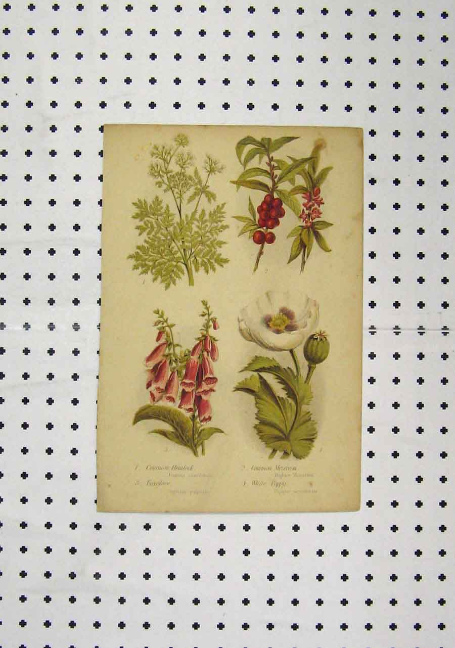 Print C1850 Colour Plants Hemlock White Poppy Foxglove 181Aa145 Old Original