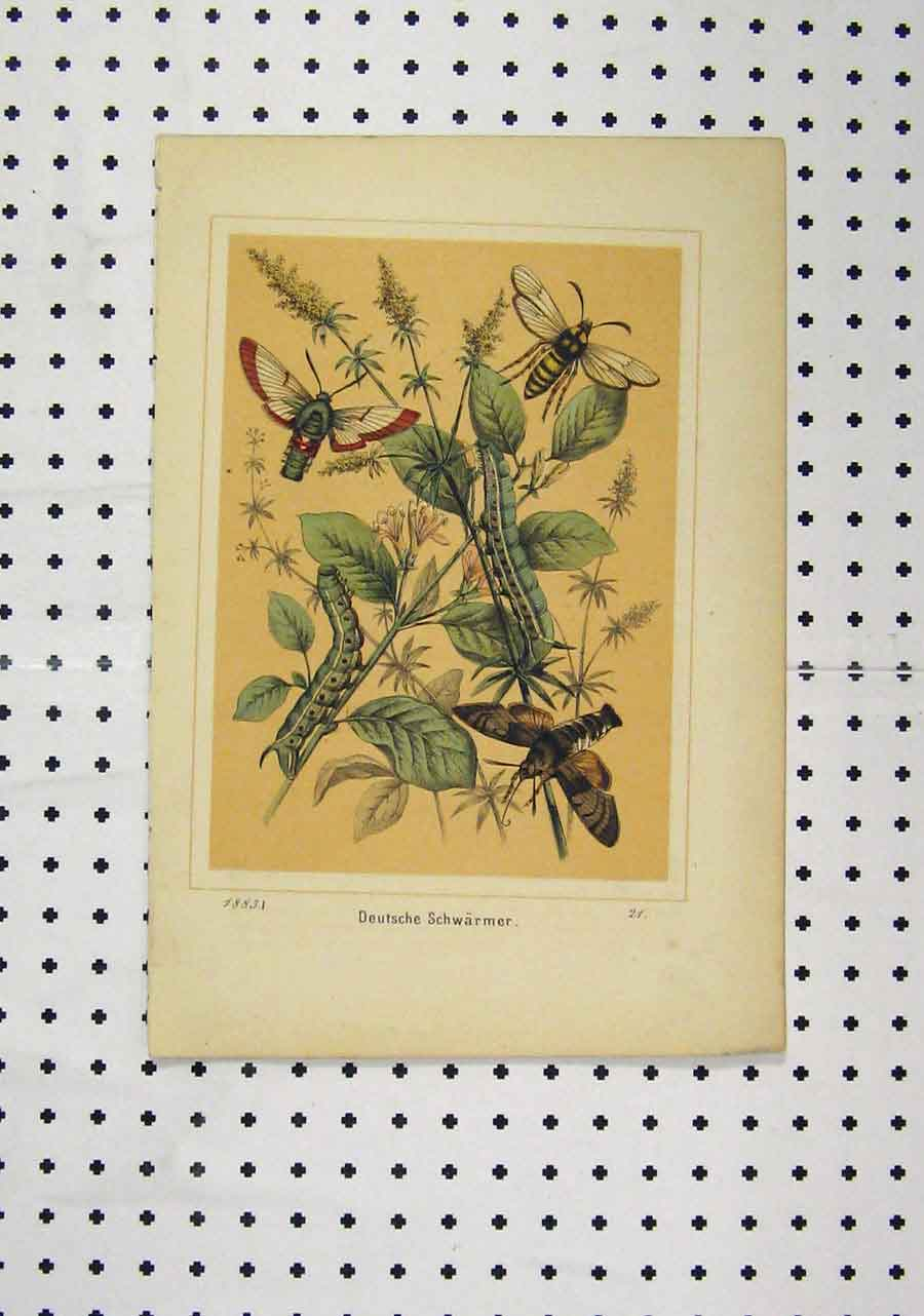 Print C1850 Deutsche Schwarmer Colour Insects Plants 183A145 Old Original