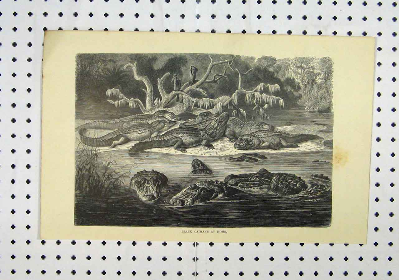 Print C1850 Black Caimans River Crocodiles Birds 189A145 Old Original