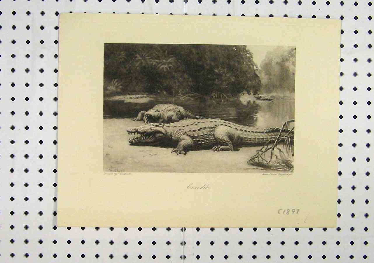 Print C1898 Crocodile River Boat Country Swan Electric 190A145 Old Original