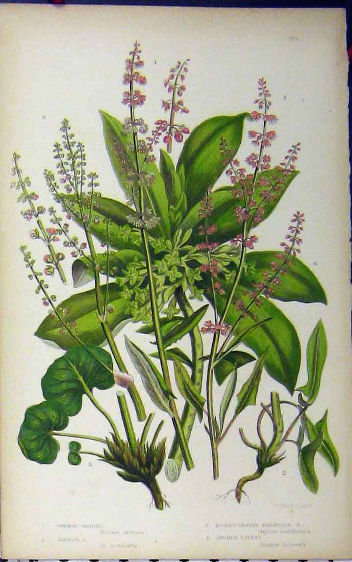 Print Common Sorrel Spurge Laurel Mountain C1880 Anne Pratt 113A177 Old Original