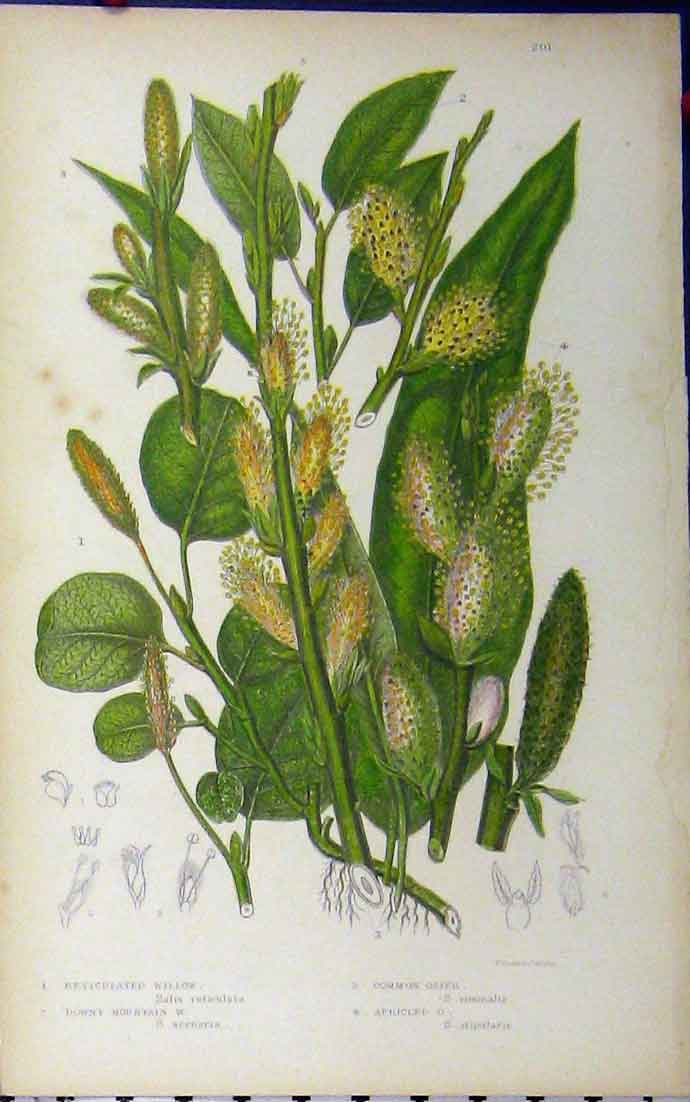 Print Reticulated Willow Osier Mountain C1880 Anne Pratt 116A177 Old Original
