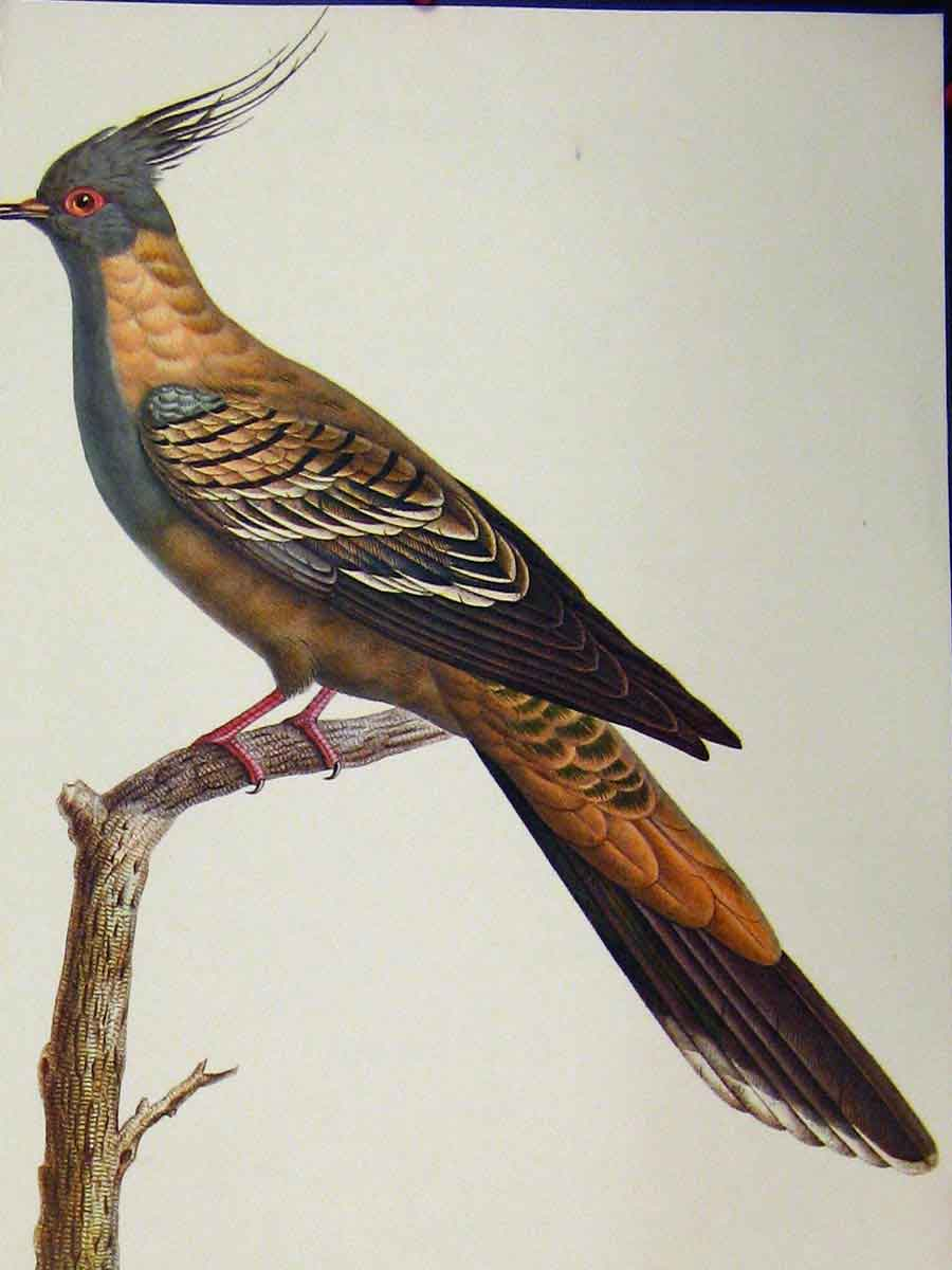 Print Crested Pigeon Bird 1977 Larousse Animal Portrait 117A179 Old Original