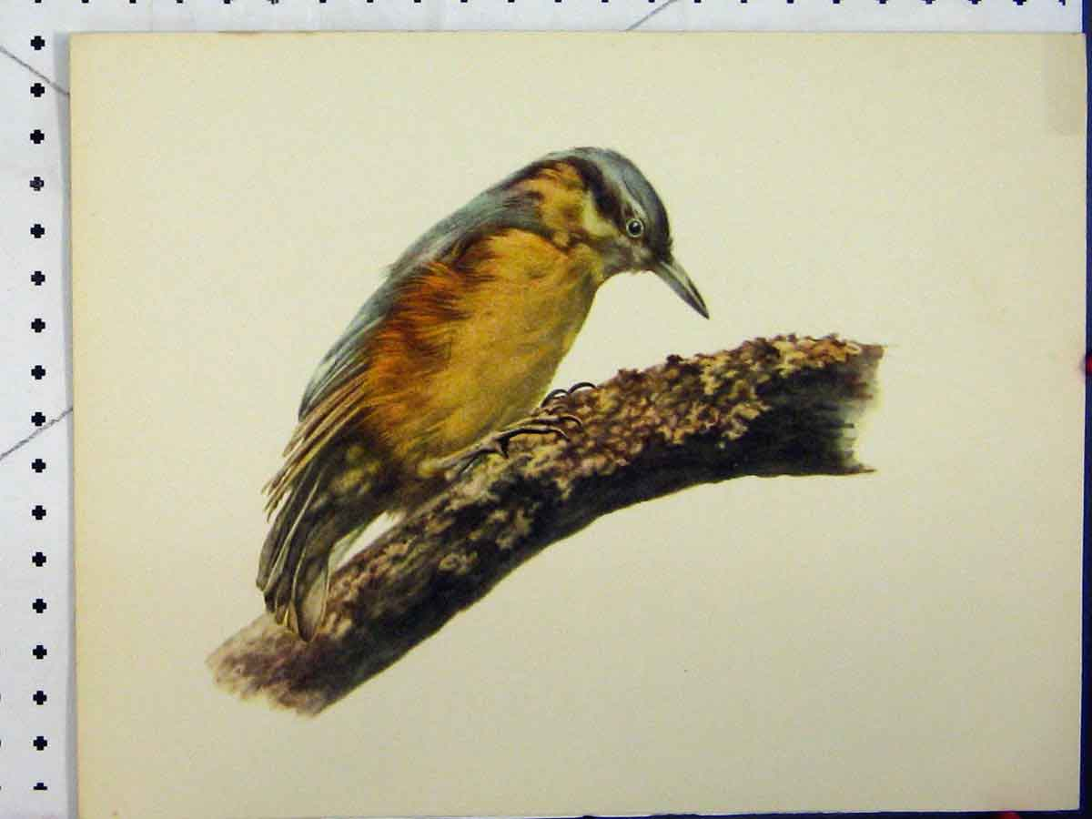Print Larousse Animal Portrait 1977 Blue Yellow Bird Colour 144A179 Old Original
