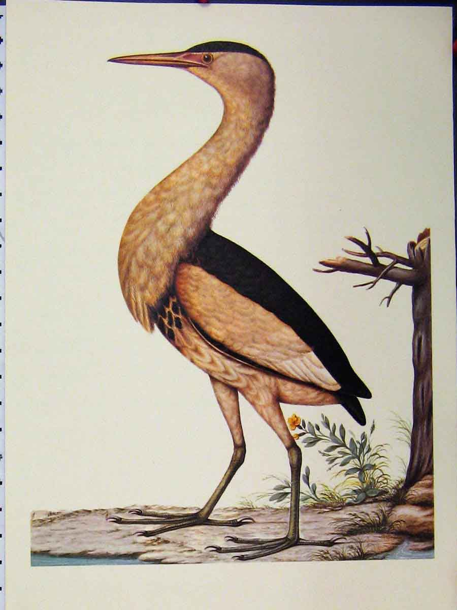 Print Little Bittern Bird 1977 Larousse Animal Portraits 151A179 Old Original